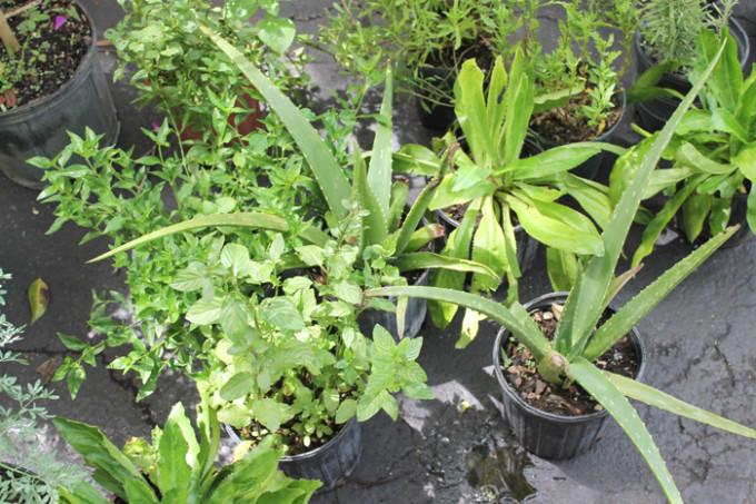 farmers-market-greens-herbs-aloe---glitterinc.com