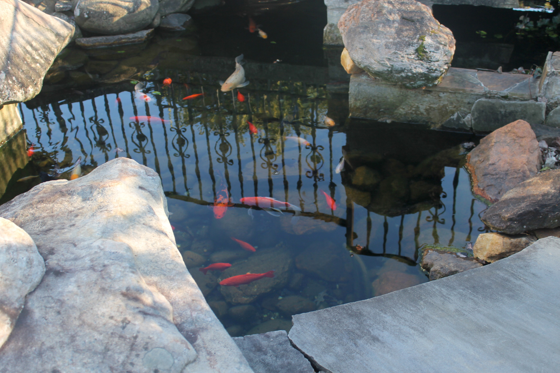 Frogtown Winery and Vineyard Koi Fish