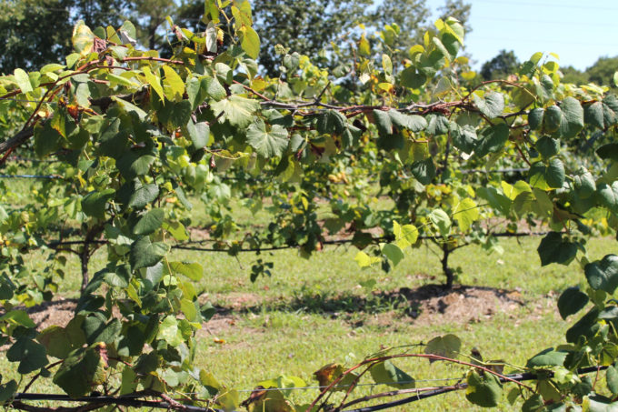 Guide to Millstone Creek Orchards in North Carolina - vineyard