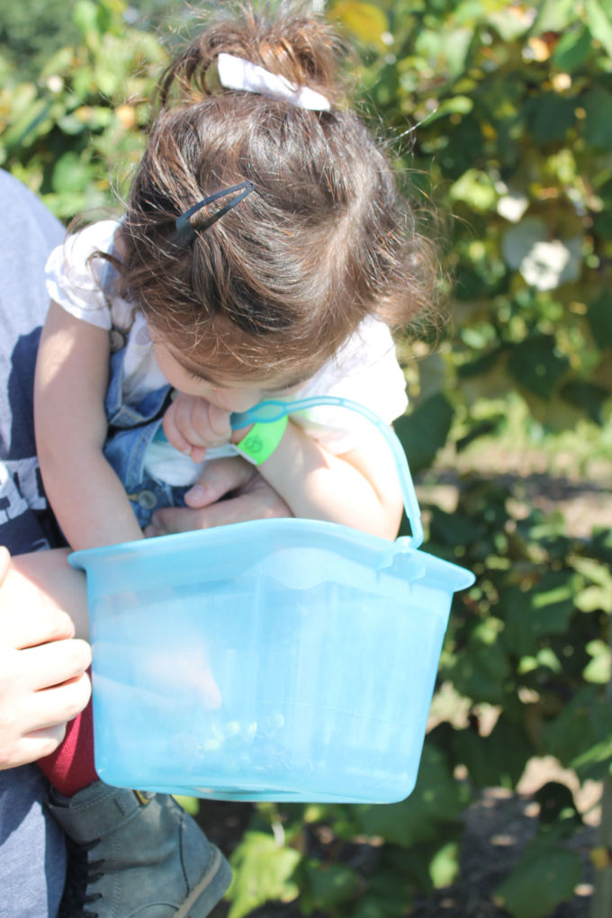 Guide to Millstone Creek Orchards in North Carolina - picking grapes at the vineyard