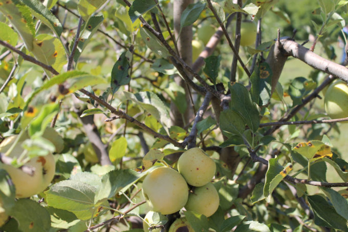 Guide to Millstone Creek Orchards in North Carolina - apple orchard trees