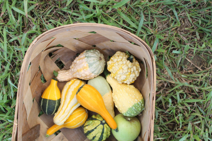 Guide to Millstone Creek Orchards in North Carolina - gourds