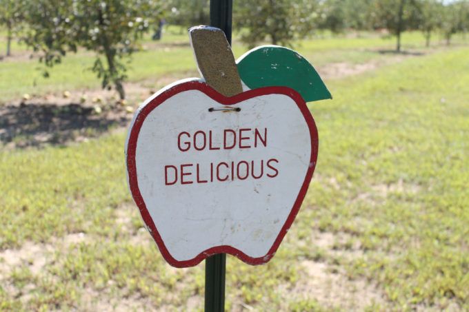 Guide to Millstone Creek Orchards in North Carolina - golden delicious apples