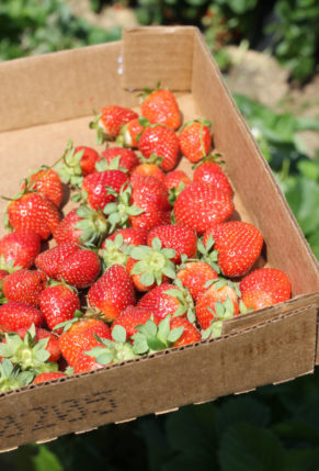 strawberry-picking-2