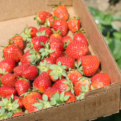Exploring Durham: Strawberry Picking at Waller Family Farm