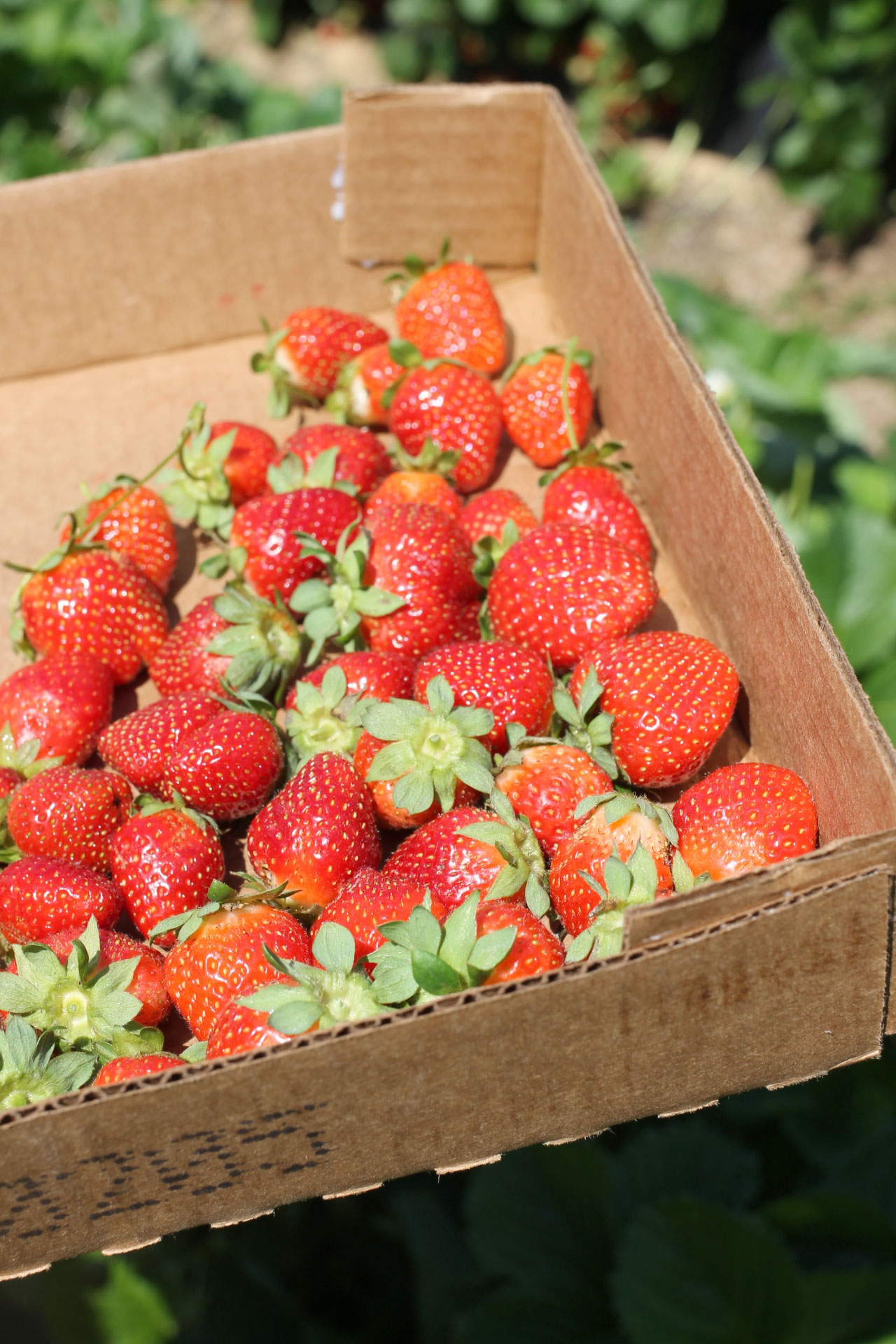 Exploring Durham: Strawberry Picking at Waller Family Farm in North Carolina by lifestyle blogger Lexi of Glitter, Inc. | glitterinc.com | @glitterinc