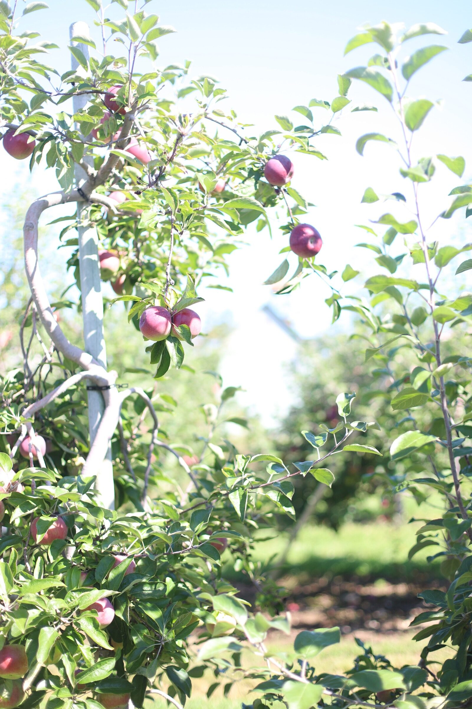 More apples for apple picking at Brooksby Farm in Peabody, Massachusetts // Fall Bucket List | glitterinc.com | @glitterinc