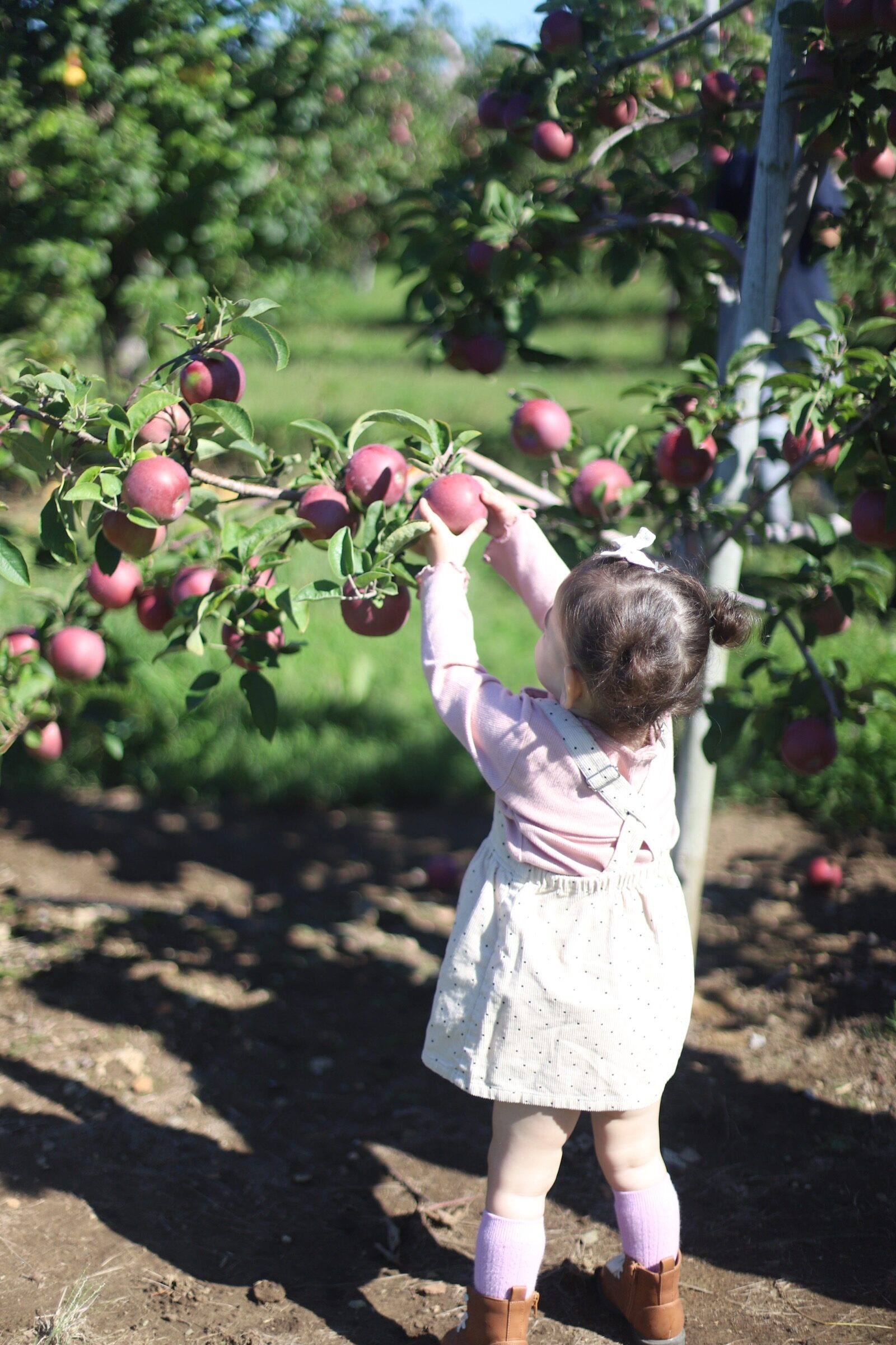 A child picking apples at Brooksby Farm in Peabody, Massachusetts // Fall Bucket List | glitterinc.com | @glitterinc