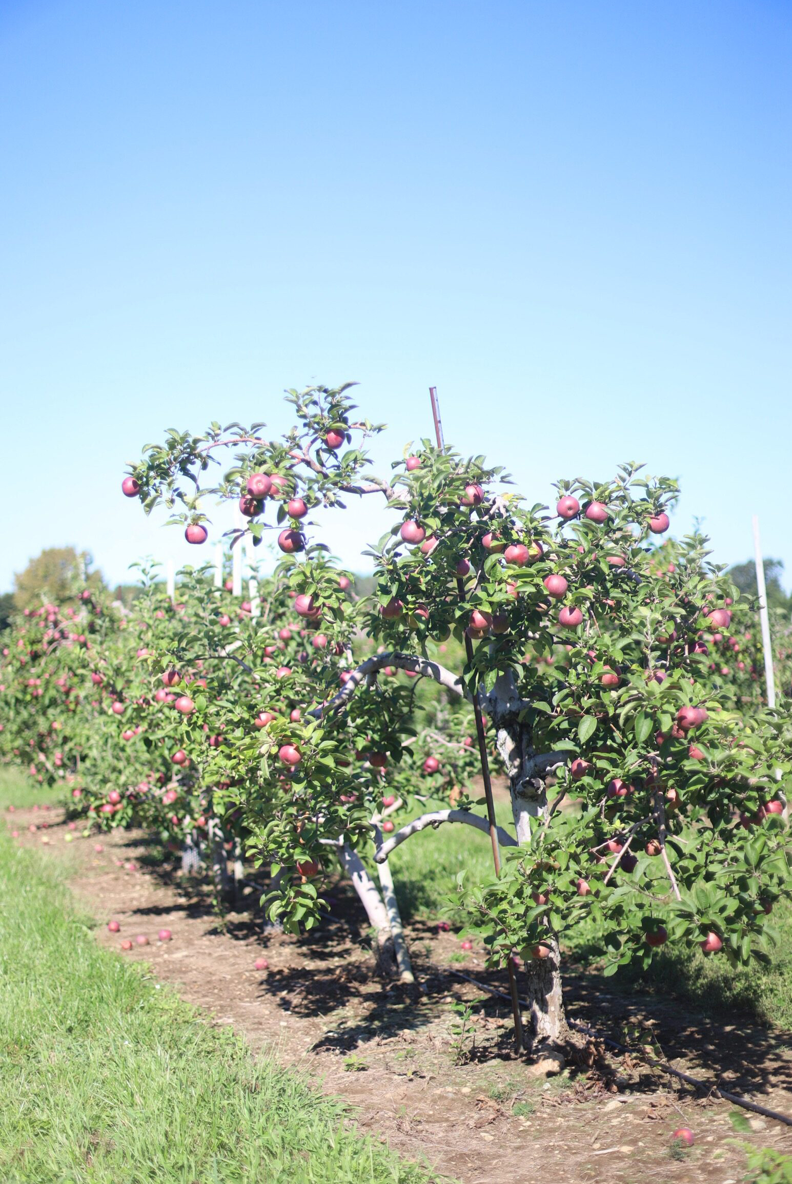 Read-to-pick apples from the orchard at Brooksby Farm in Peabody, Massachusetts // Fall Bucket List | glitterinc.com | @glitterinc