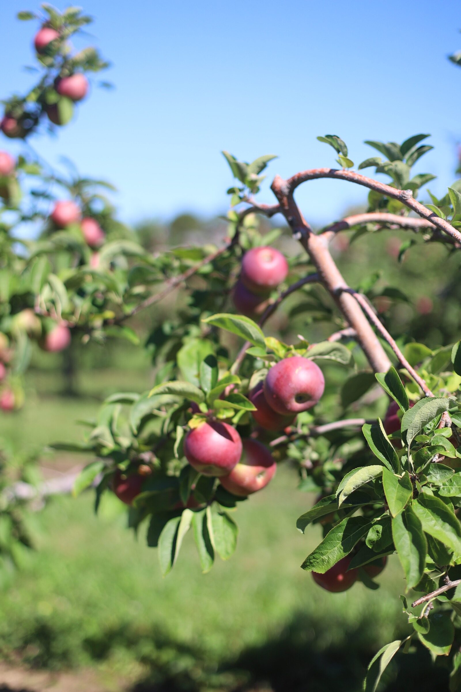 Apples from the orchard at Brooksby Farm in Peabody, Massachusetts // Fall Bucket List | glitterinc.com | @glitterinc