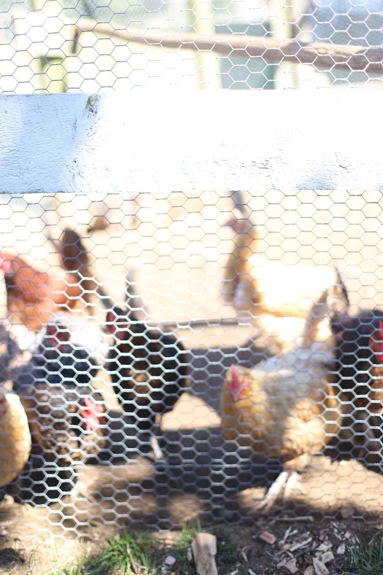 Chickens at Brooksby Farm in Peabody, Massachusetts // Fall Bucket List | glitterinc.com | @glitterinc