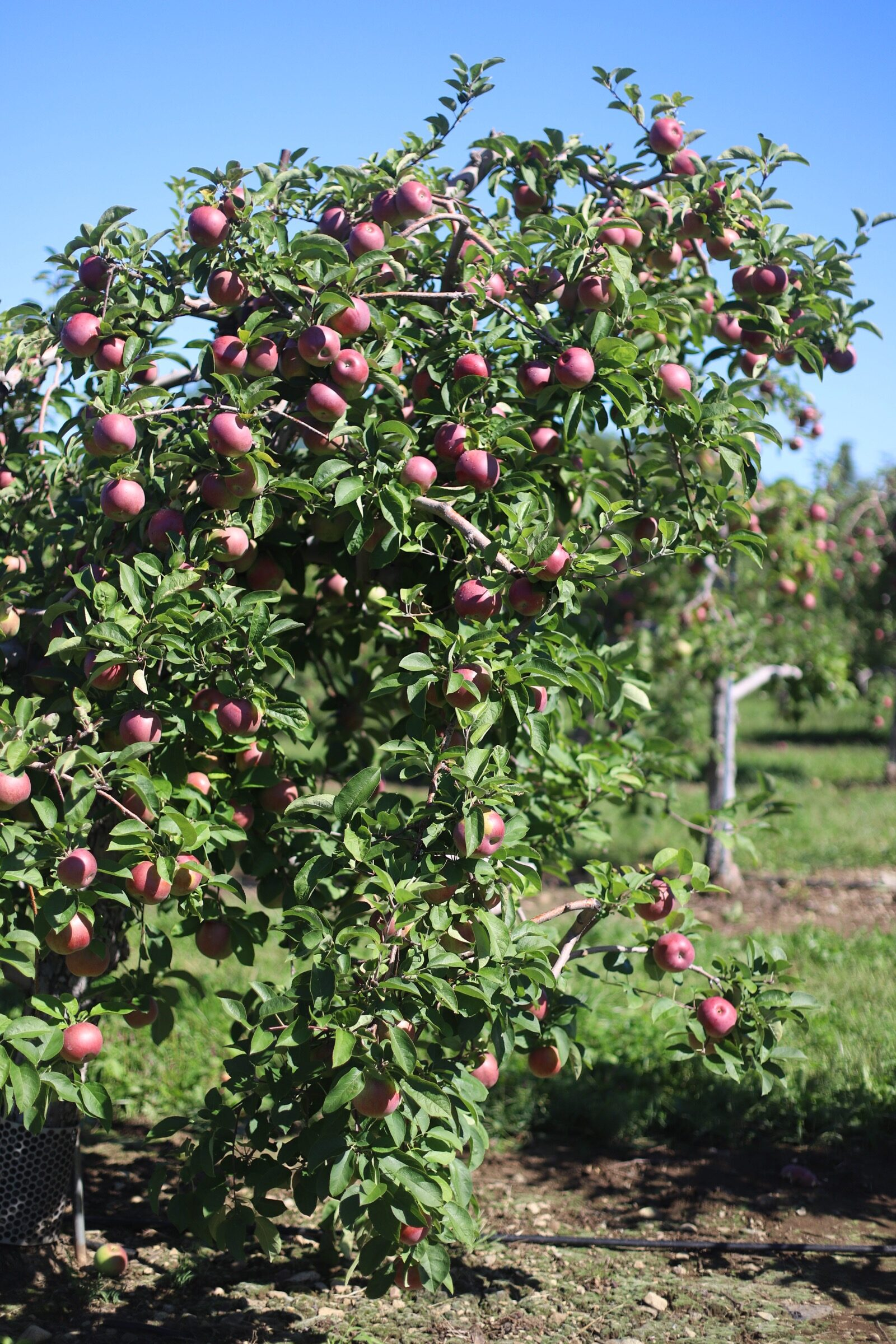 An abundant tree of apples at Brooksby Farm in Peabody, Massachusetts // Fall Bucket List | glitterinc.com | @glitterinc