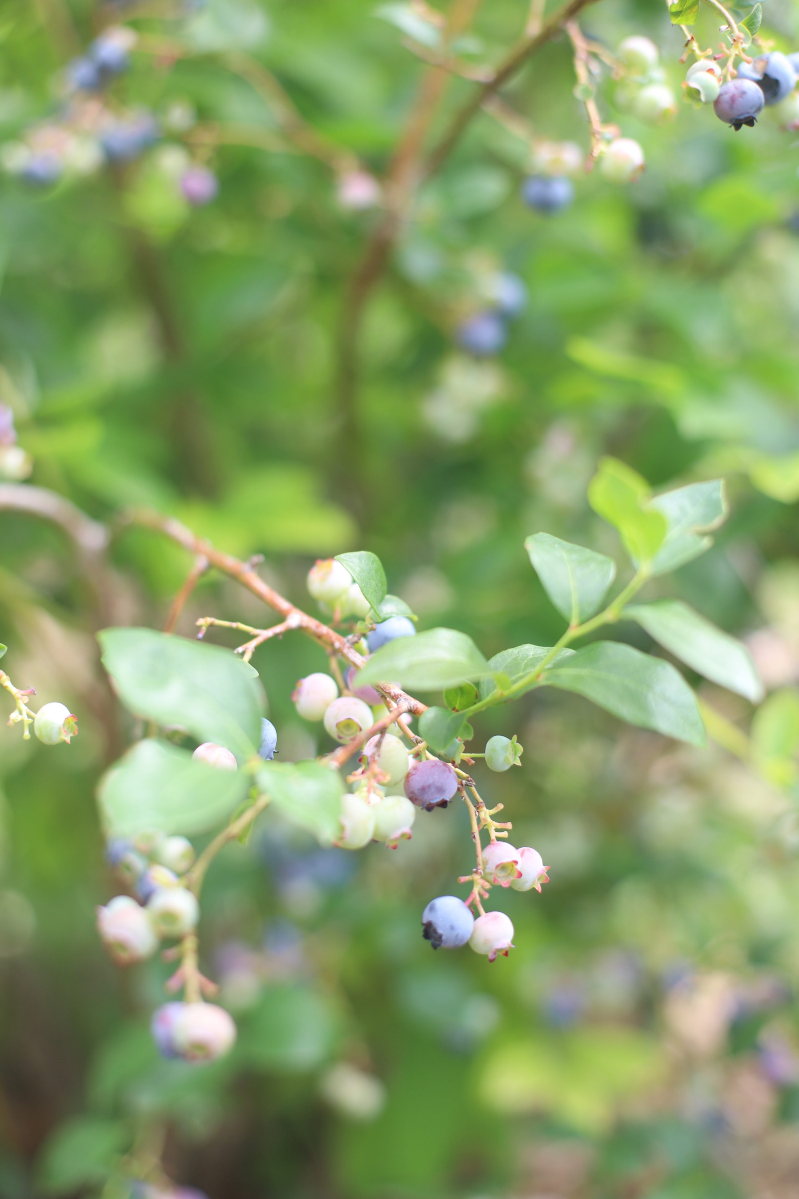 Looking for somewhere family-friendly to do a little berry picking around the Boston area this summer? We've founded the sweetest spot to pick blueberries, strawberries, and even cherries! | @glitterinclexi | GLITTERINC.COM