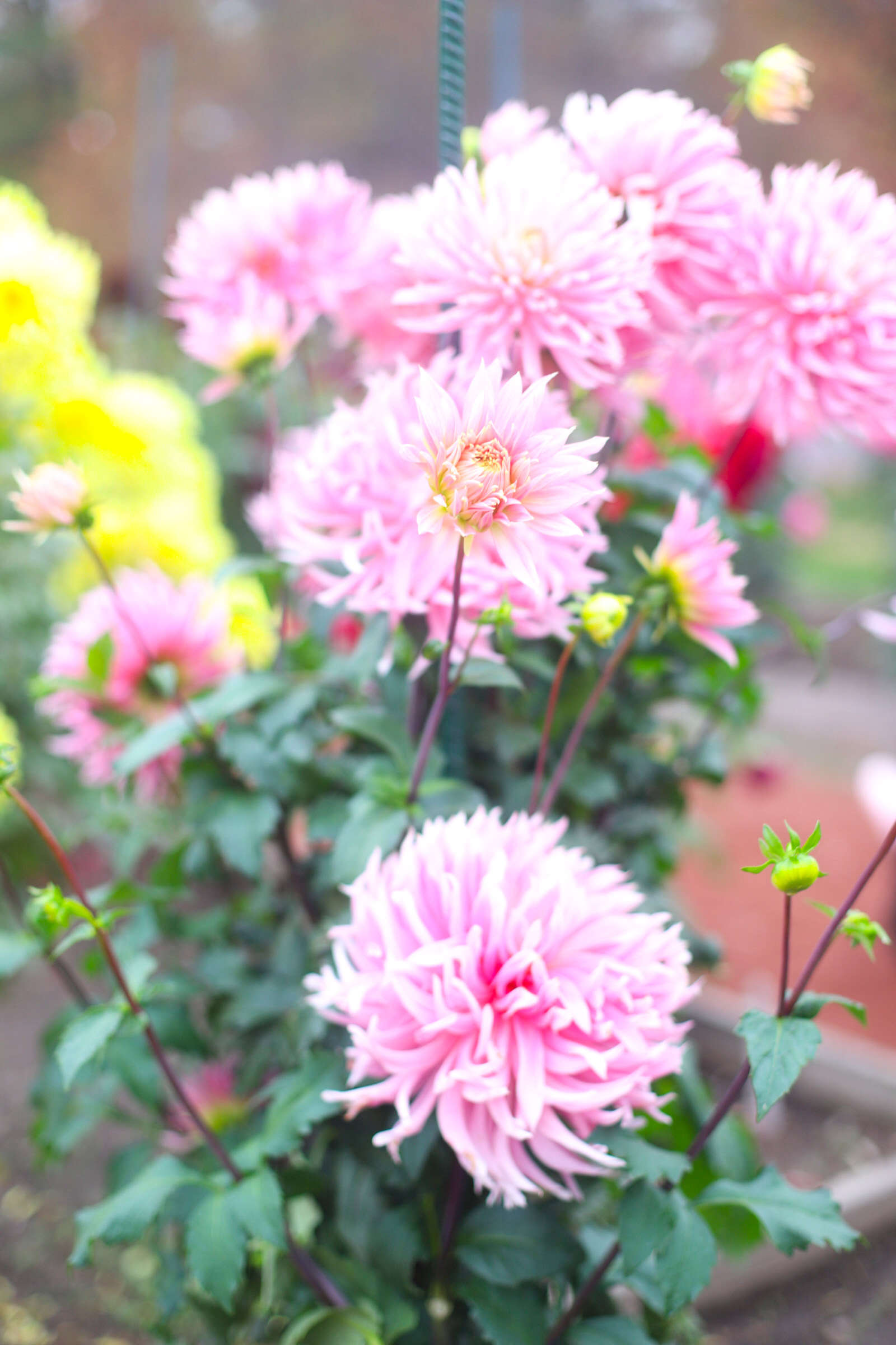 Exploring Elizabeth Rose Garden to see the Dahlias in the Fall in Hartford Connecticut | @glitterinclexi | GLITTERINC.COM