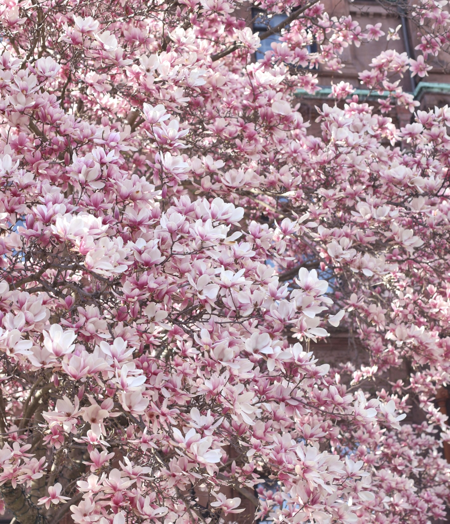 Cherry Blossoms in Boston and planning a Getaway to Maine